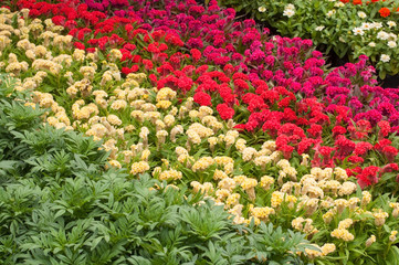 Red and yellow genus Celosia flowers with green leaf
