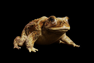 Common Toad (Bufo bufo) sitting, isolated on black background