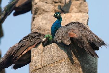 Peacocks in the Evora Public Park's Fake Ruins built in the 1860s in Evora, Portugal