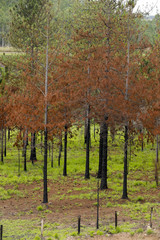 Red pines contrasting with the exuberant green grass