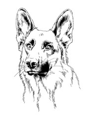 pedigree dog drawn in ink by hand on a white background