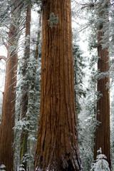 Sequoias in winter