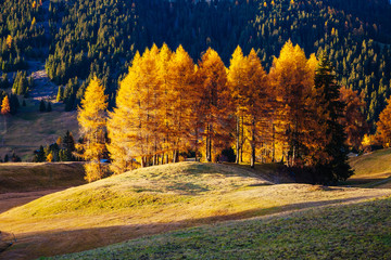 Lovely  yellow larches in sunlight. Location place Dolomiti, Compaccio village, Alpe di Siusi, Province of Bolzano - South Tyrol, Italy, Europe.
