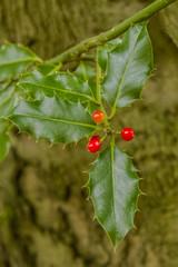 Holly (Ilex acquifolium) bush bearing it berries