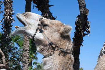 Camel head close up portrait