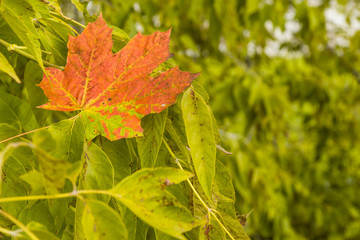 Bright autumn maple leaf on the leaves of a tree - autumn background