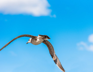 Seagull is flying against the blue sky in Sete, Languedoc Roussillon, France. Close-up.