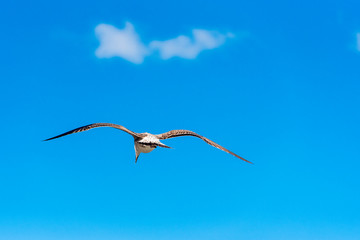 Seagull is flying against the blue sky in Sete, Languedoc Roussillon, France. Copy space for text.