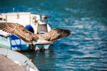 The seagull is flying over the water in Sete, Languedoc Roussillon, France. Close-up.