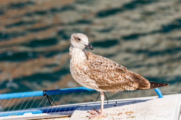 Seagull stands on the background of water in Sete, France. Close-up.