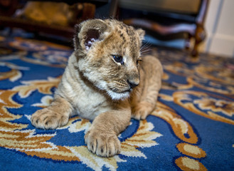Little sweet beautiful young lion resting lazily in a city apartment on the floor carpet. Lion Cub. Shallow depth of field. selective focus