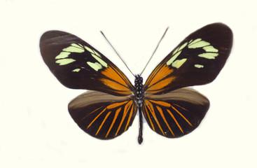 The Burney's longwing (Heliconius burneyi koenigi ) isolated