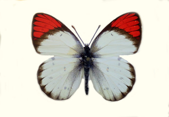 The crimson tip or scarlet tip (Colotis danae) isolated