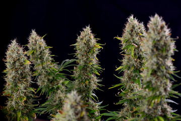 Cannabis cola (Sour Diesel marijuana strain) with visible trichomes on late flowering stage
