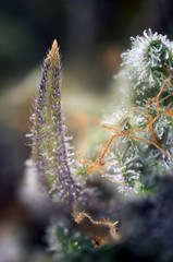 Cannabis bud macro with visible thc glands aka trichomes