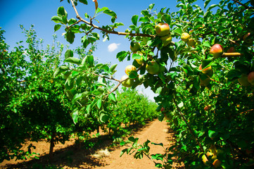 Apples in an apple orchard