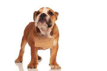 small english bulldog standing with card tied on neck