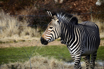 Foto auf Leinwand Zebra Black and white Zebra in zoo, France