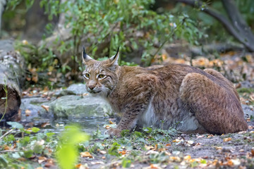 Lynx in the forest in the wild