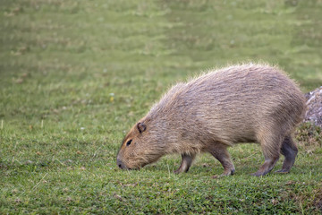 Capybara in a clearing in the wild