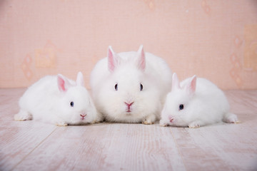 Adorable family of white decorative rabbits