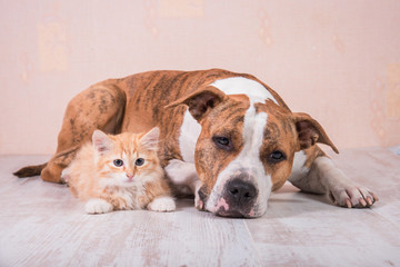 American staffordshire terrier dog with little kitten lying on the floor