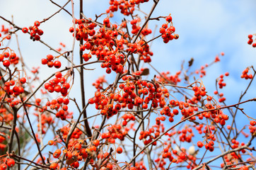 Brightly red hawthorn berries on branches without leaves against a blue sky background