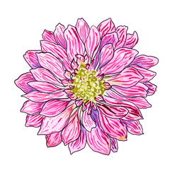 chrysanthemum pink flower, watercolor with black contour hand painted illustration perfect for tatoo, postcard, print or invitation decoration