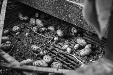 Harvesting potatoes from the field with a combine