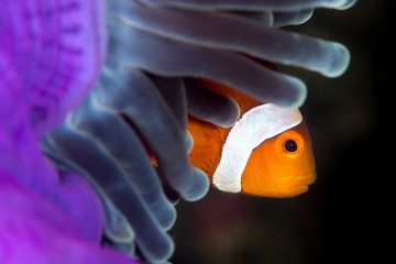 false anemonefish in a purple anemone