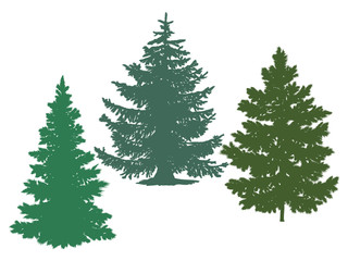 Silhouettes of spruce and pine