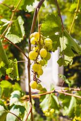 Grape clusters, grape grain