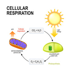 Cellular respiration. Connecting Cellular Respiration and Photosynthesis