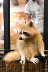 Raccoon albino in animal cafe. Cute mammal