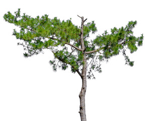 Pine tree in isolated