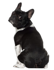 French bulldog, 5 years old, sitting in front of white background