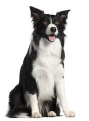 Papillon (3 years old), Border Collie (4 years old)
