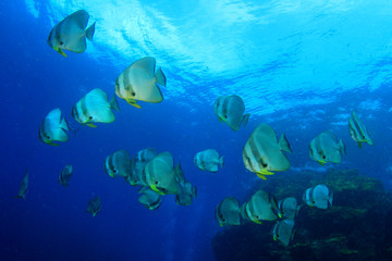 School of fish: Longfin Spadefish (Batfish)