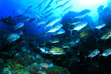 Trevally fish (Jackfish) hunting on coral reef