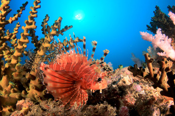 Aluminium Prints Under water Dwarf Lionfish fish on coral reef