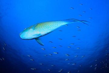 Parrotfish fish underwater on coral reef