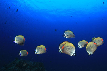 Tropical fish underwater. Redtailed Butterflyfish. Fish school on coral reef
