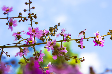Wild Thailand  Sakura flowers  with beautiful sky  background