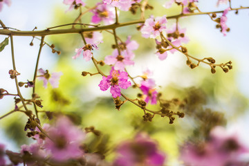 Wild Thailand  Sakura flowers  with bokeh background