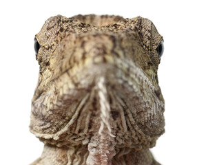 Oriente Bearded Anole or Anolis porcus, Chamaeleolis porcus, Polychrus is a genus of lizards, commonly called bush anoles, portrait and close up against white background