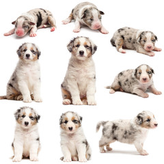 Evolution of an Australian shepherd puppy, 1 days to 2 months old, against white background