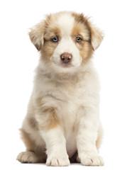 Fototapete - Australian Shepherd puppy, 8 weeks old, sitting and portrait against white background