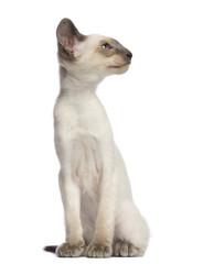 Oriental Shorthair kitten, 9 weeks old, sitting and looking away against white background