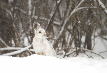 Snowshoe hare (Lepus americanus) in the falling snow