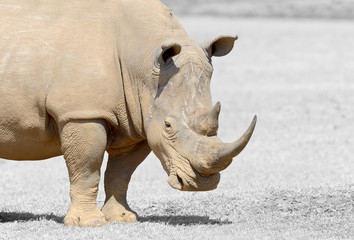 Black and white photography with color rhino